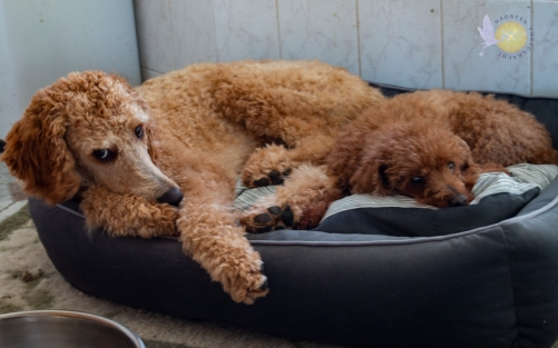 Two poodles in bed