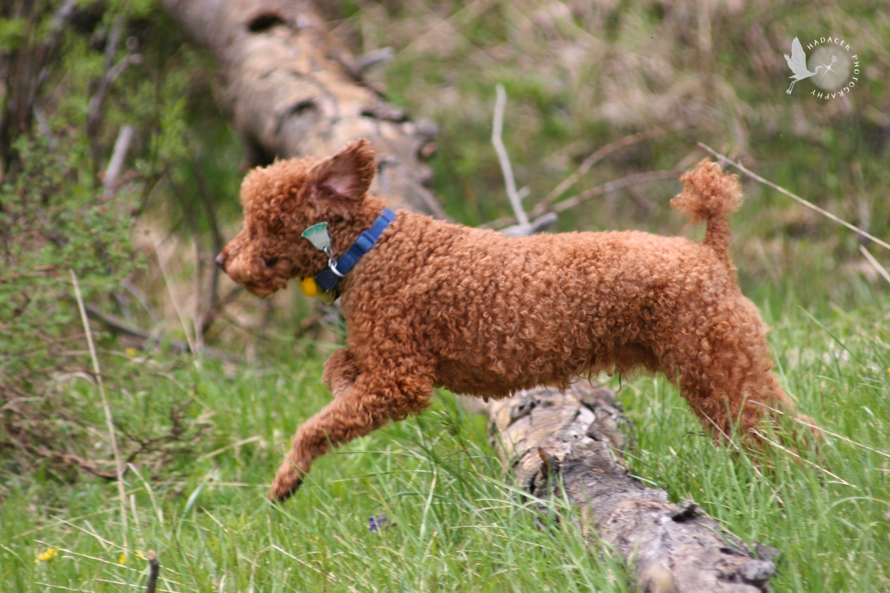 red poodle