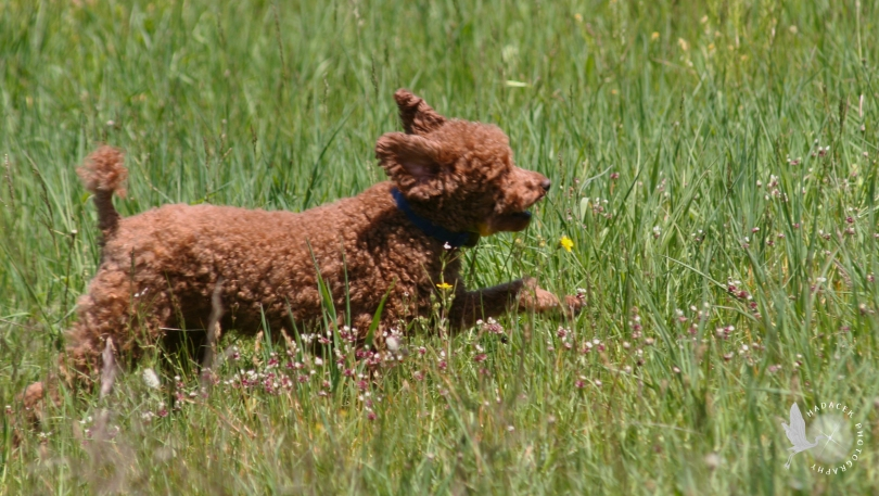 running dog, red poodle