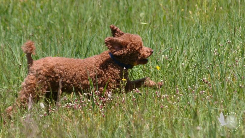 running dog, red poodle