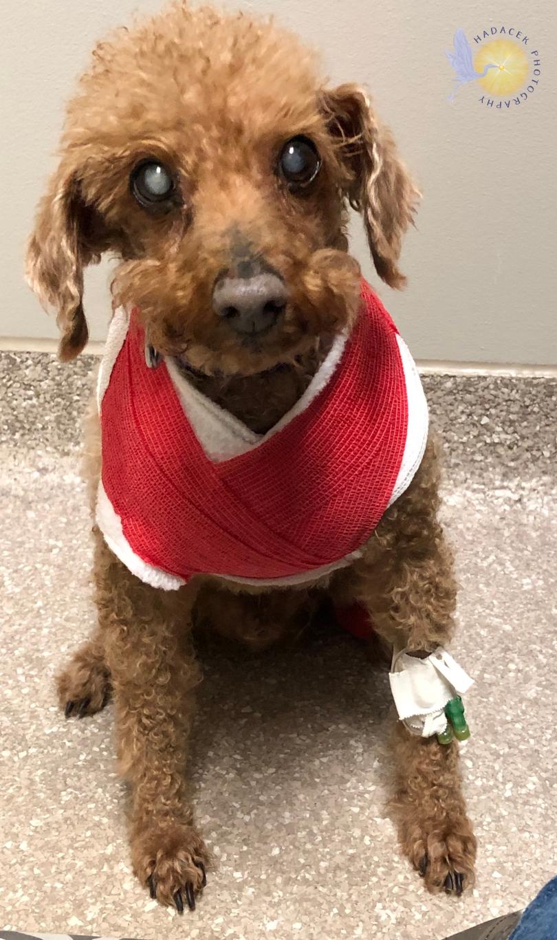 dog, bandage