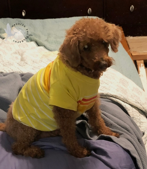 dog in shirt