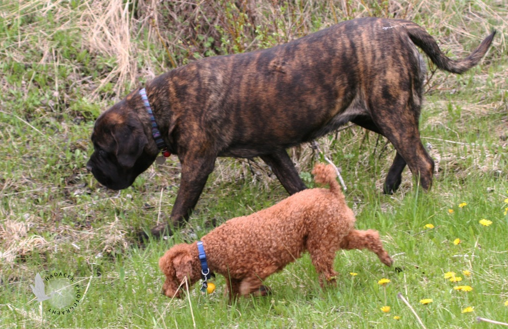 red miniature poodle; brindle mastiff; big and little dogs