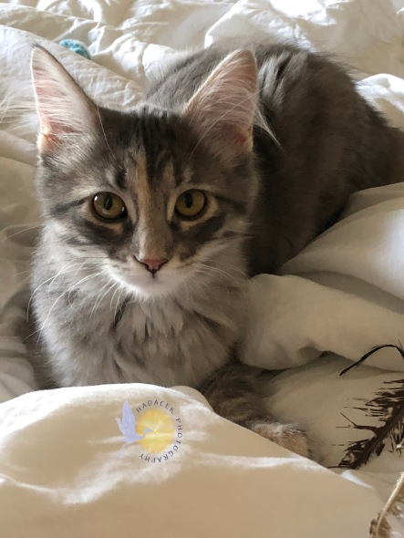 gray juvenile cat