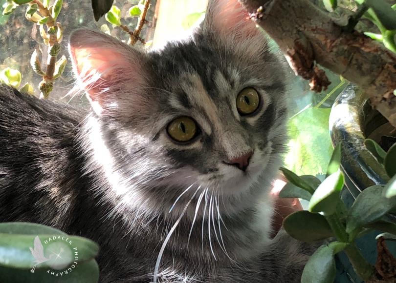 gray cat jade plant