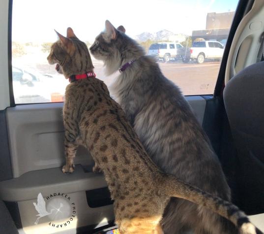 Bengal cat and gray cat
