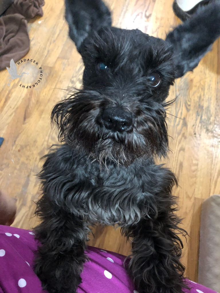 Black schnauzer-mix dog