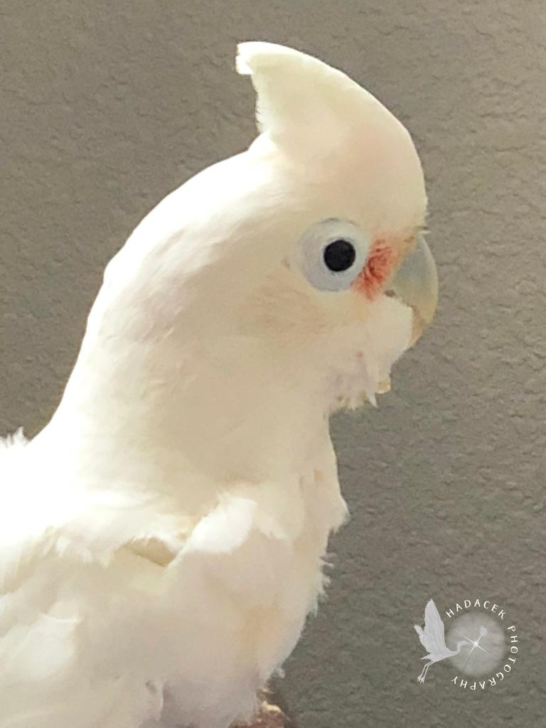 Goffin's cockatoo, parrot crest
