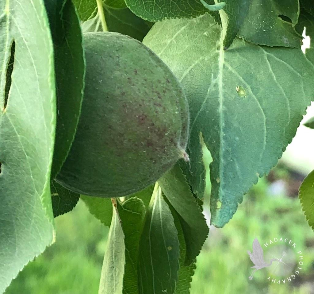 immature apricot
