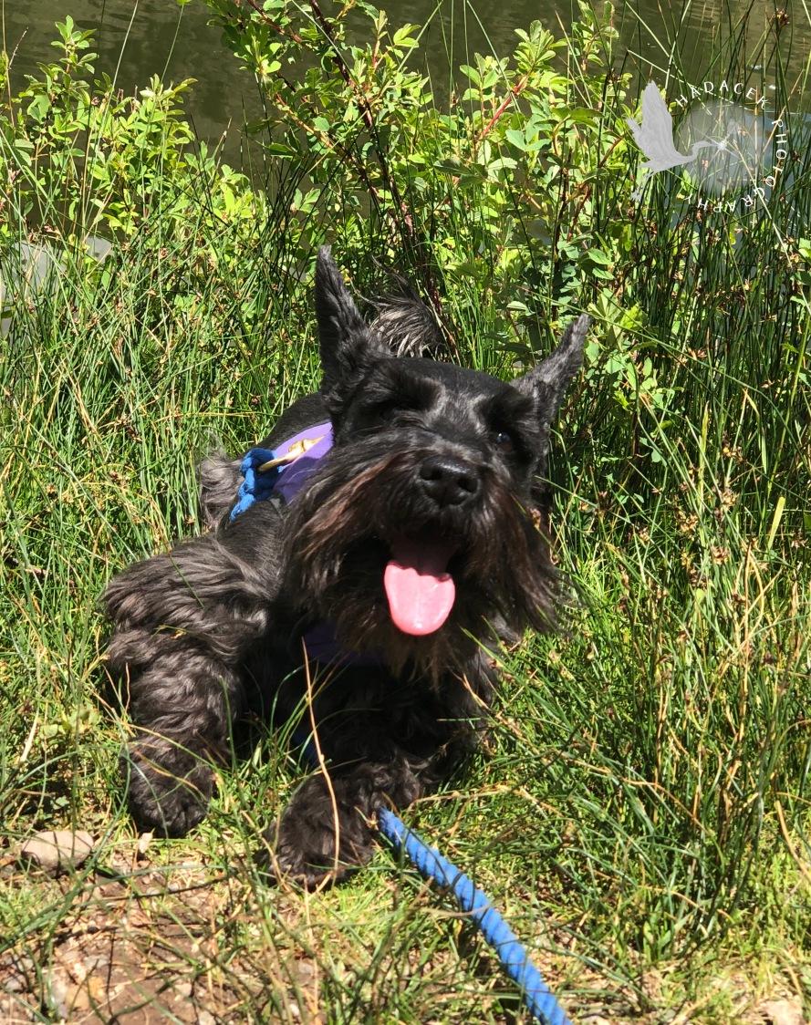 black dog, tongue