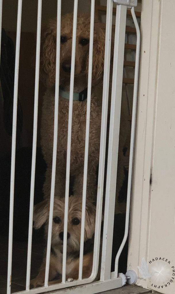 A baby gate is in place in a doorway. Behind it are an apricot standard poodle standing above a black and tan shaggy dog. They are looking through the gate, mesmerized.