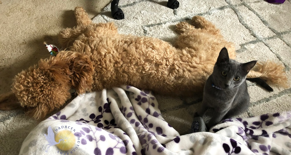 An apricot standard poodle lays on the floor. At her back, a small gray cat sits beside her, very comfortable.