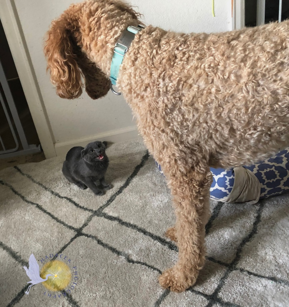 A small gray kitten hisses at the large standard poodle looming over her.