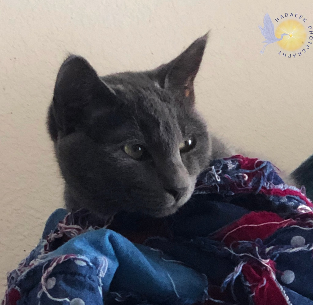 A gray cat with green eyes looks out from where she lays on a blue and maroon blanket. She looks mature, here, although still a kitten.
