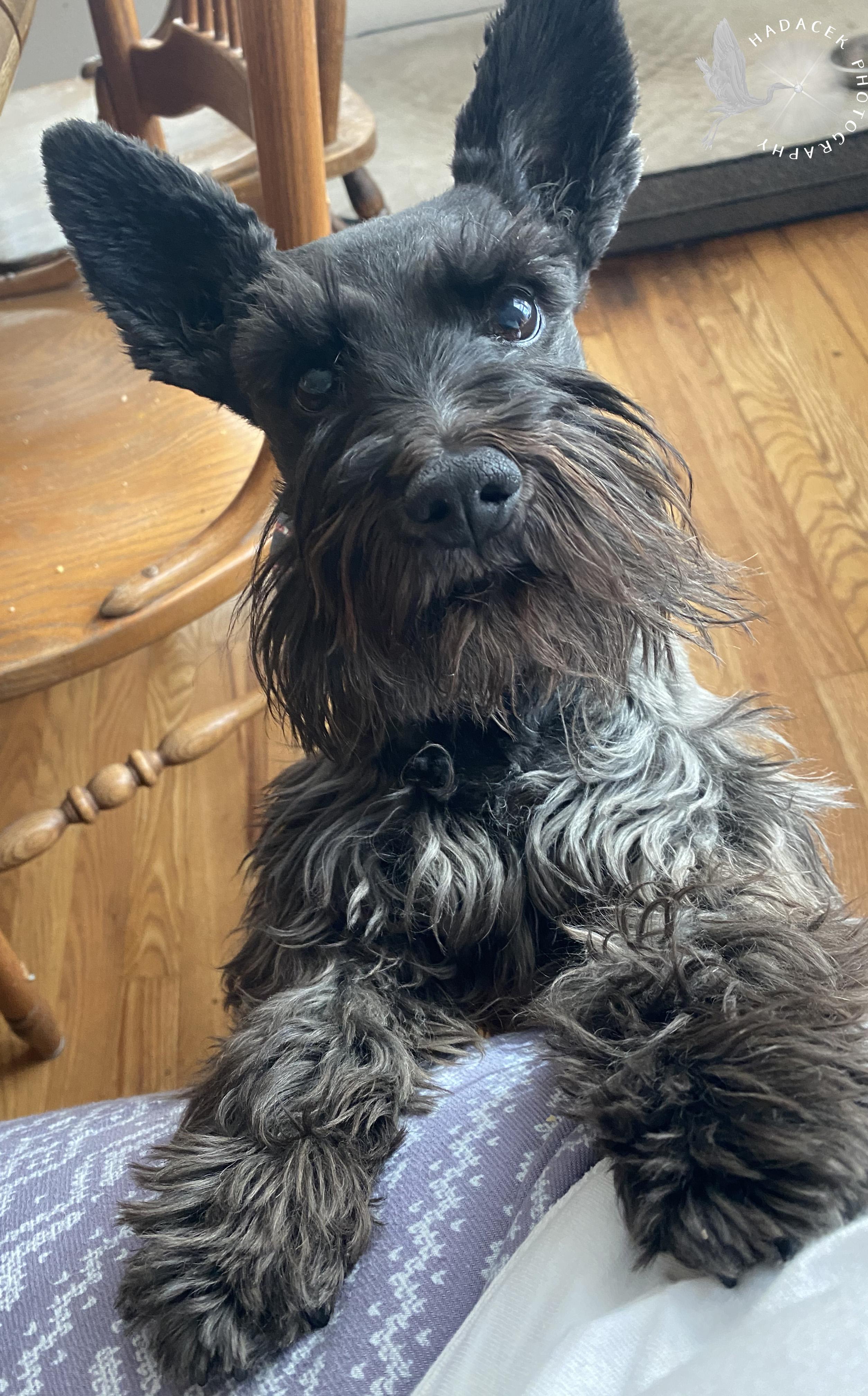 Black moustached dog