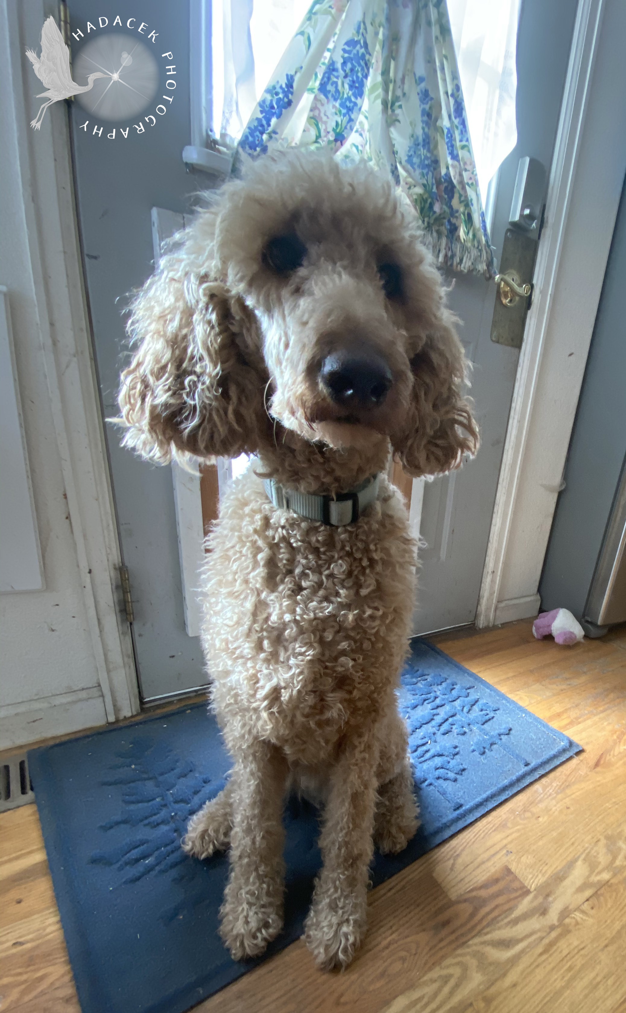 Sitting dog; standard poodle