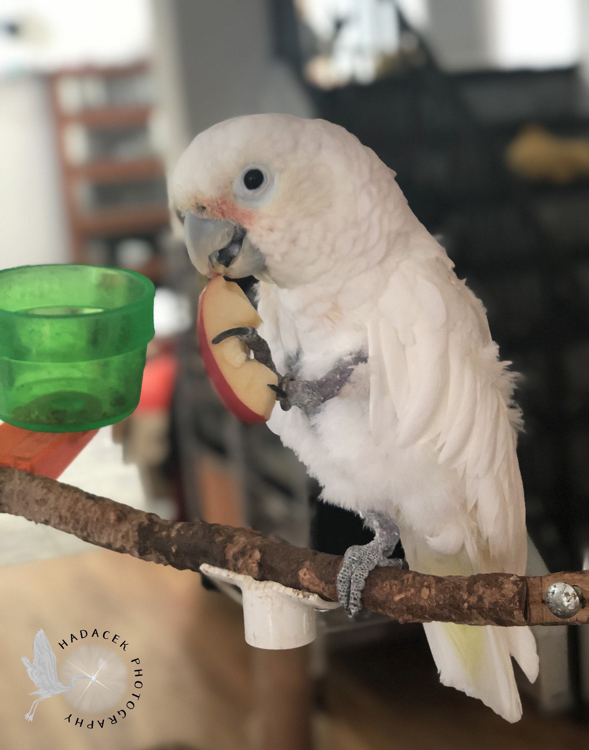 Goffin's cockatoo, apple