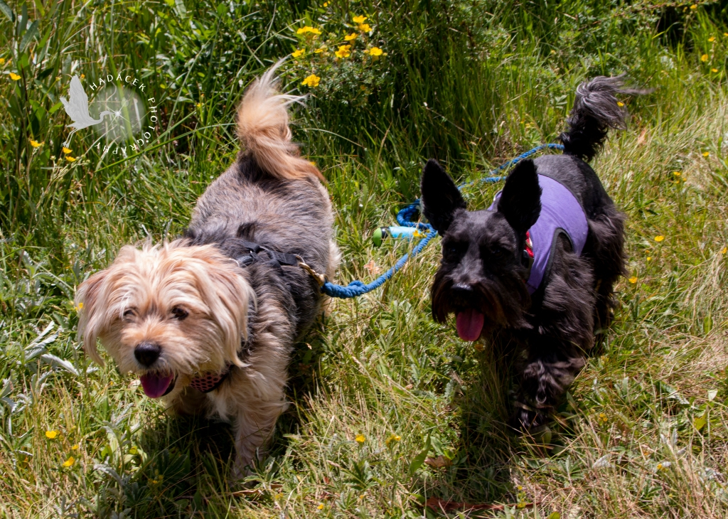 Two small dogs walk with their tongues hanging out in wildflowers and natural grasses. They are looking happy!
