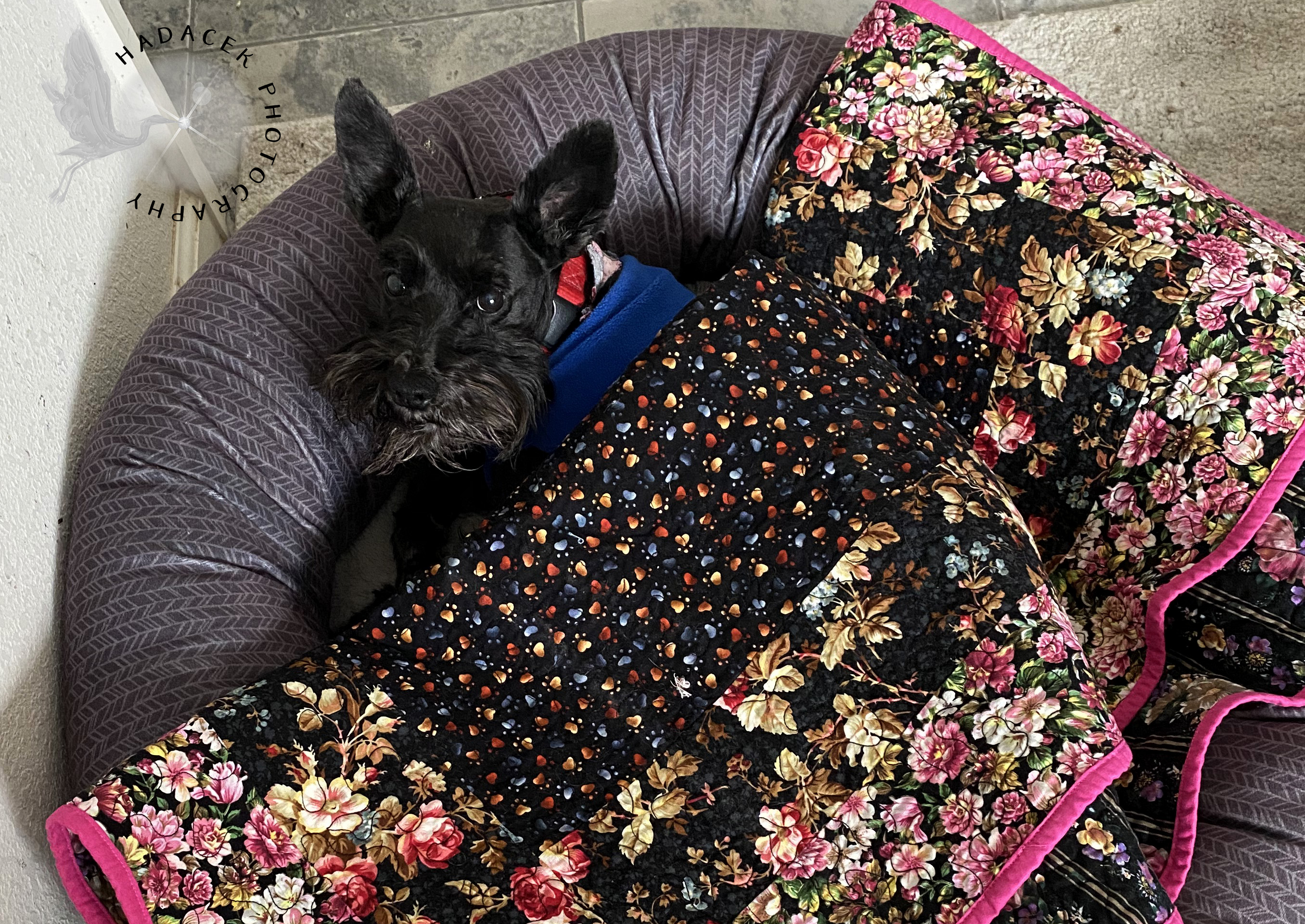 dog with quilt