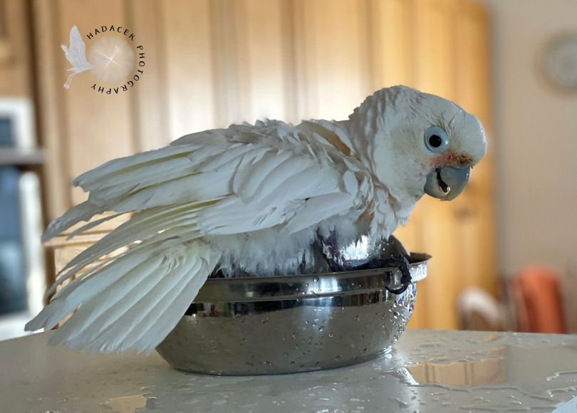 Goffin's cockatoo bathing