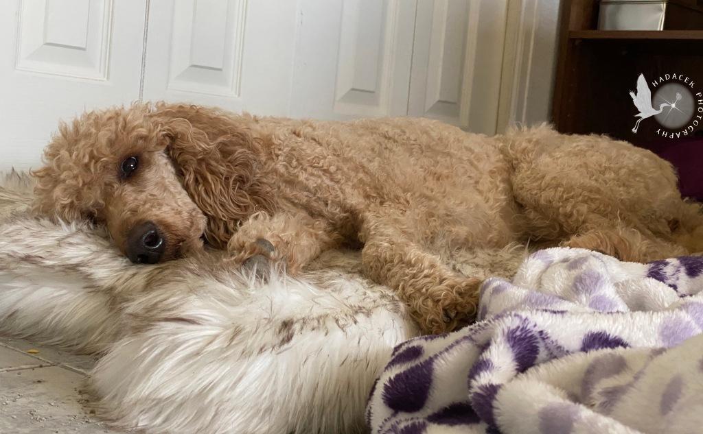 sleeping poodle