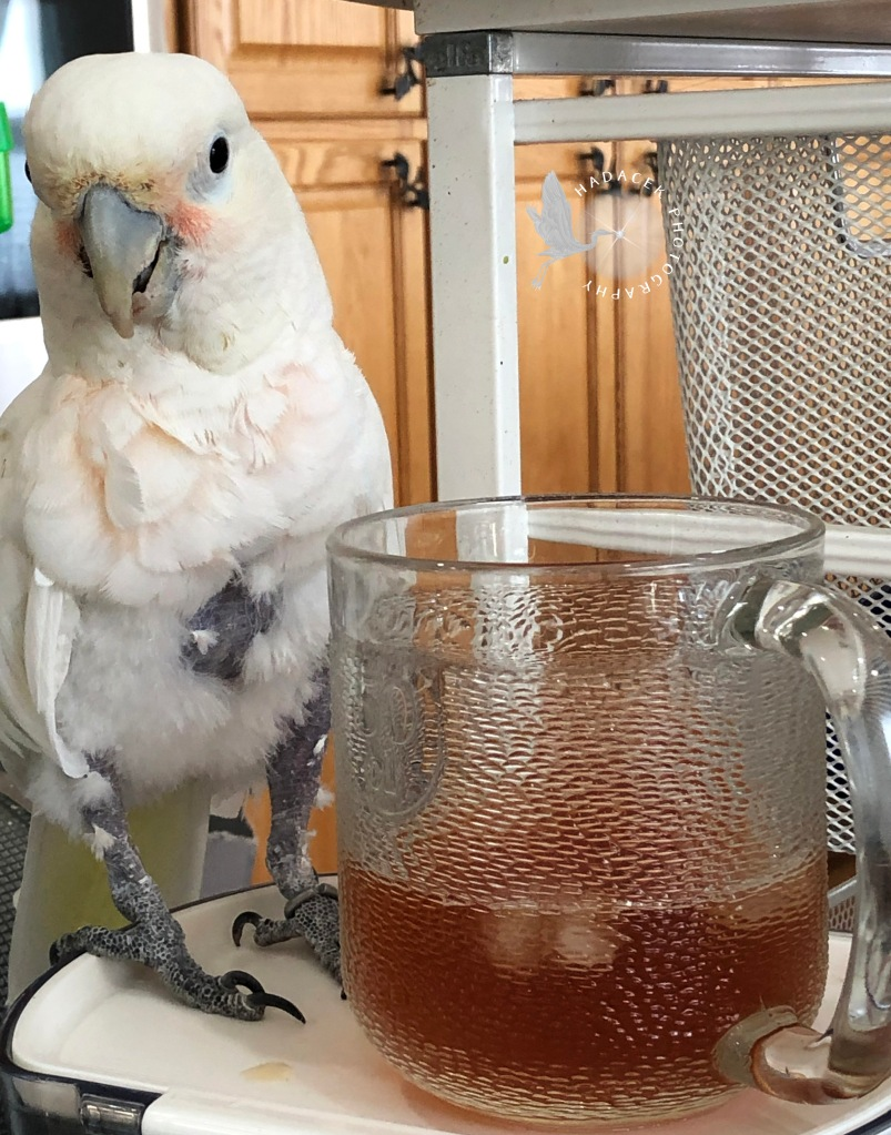 cockatoo, tea