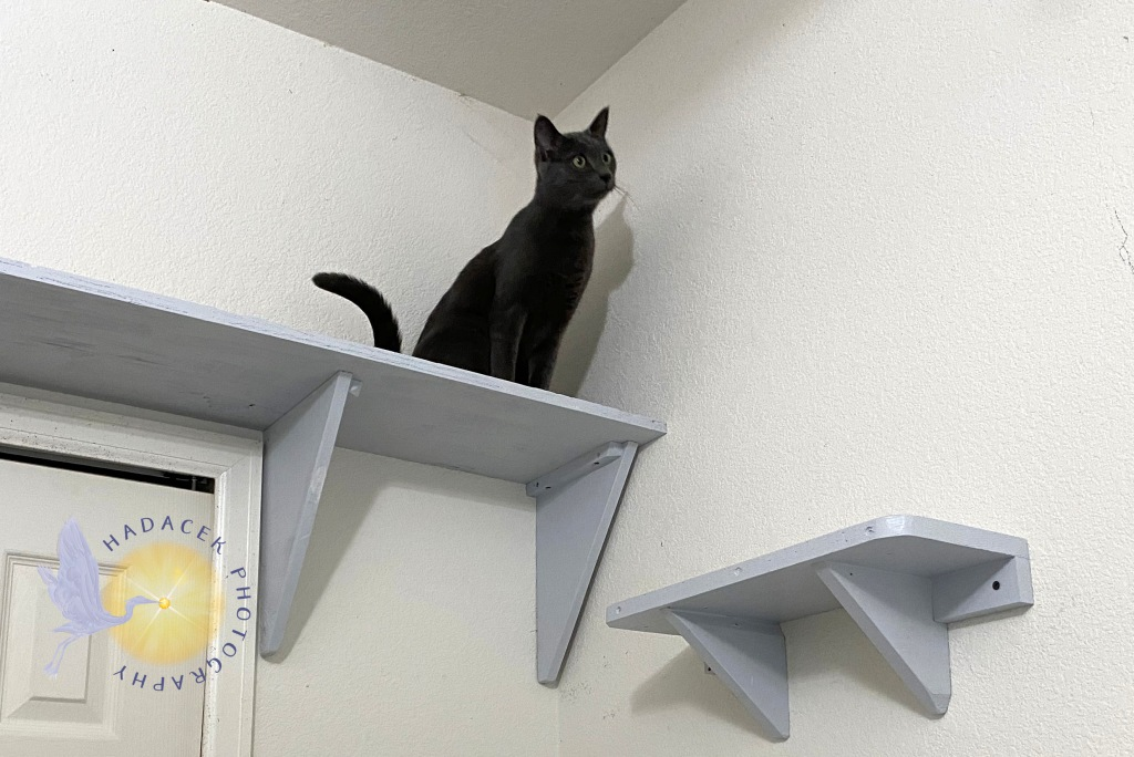 Gray cat on high shelf