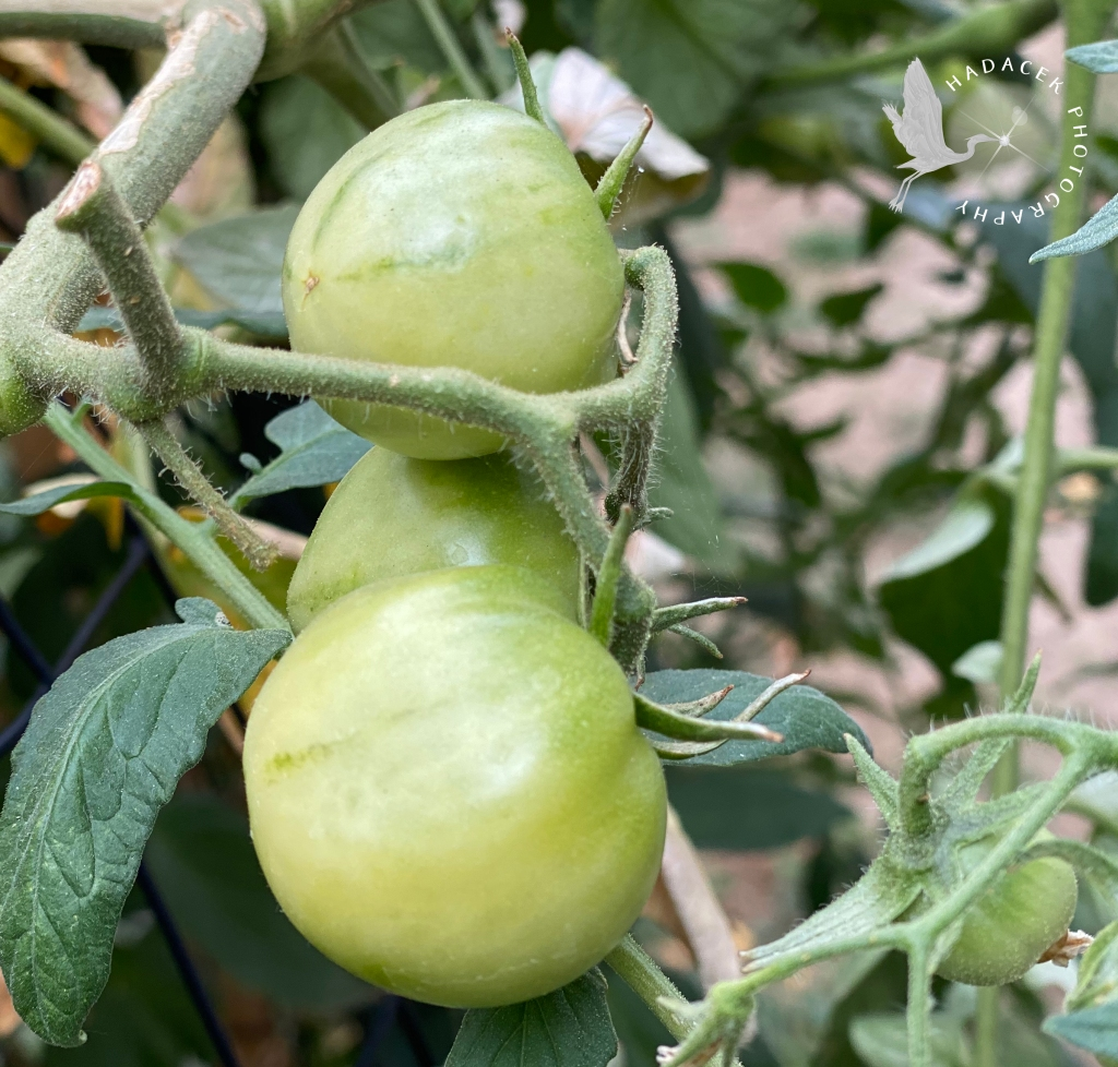 There's a cluster of three light green tomatoes on the left and a small tomato nestled in the bush on the right.