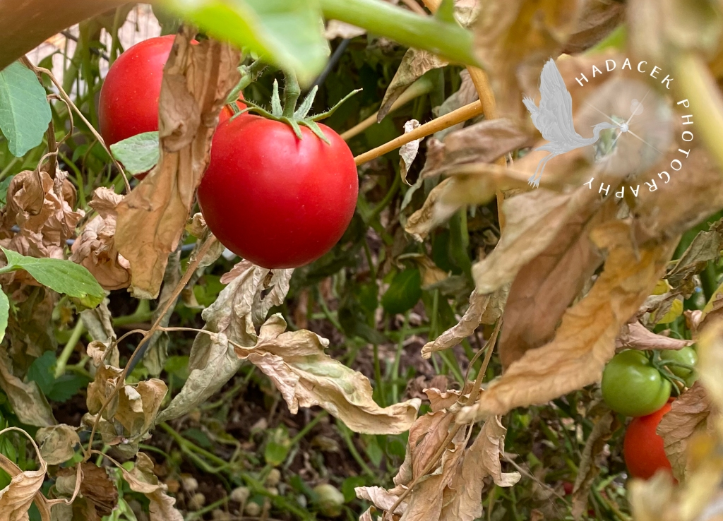 Bright red tomatoes are startling among dead leaves. A cluster of green tomatoes is tucked away on the right.