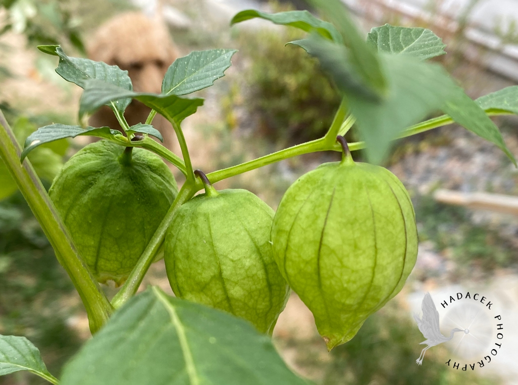Three tomatillos, covered in light green husks, dangle from a branch of the tomatillo bush.
