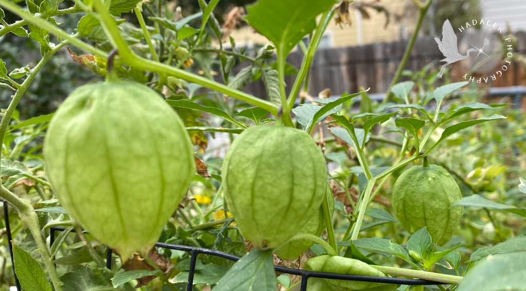 Three light green tomatillo husks dangle from a vine in a straight line.