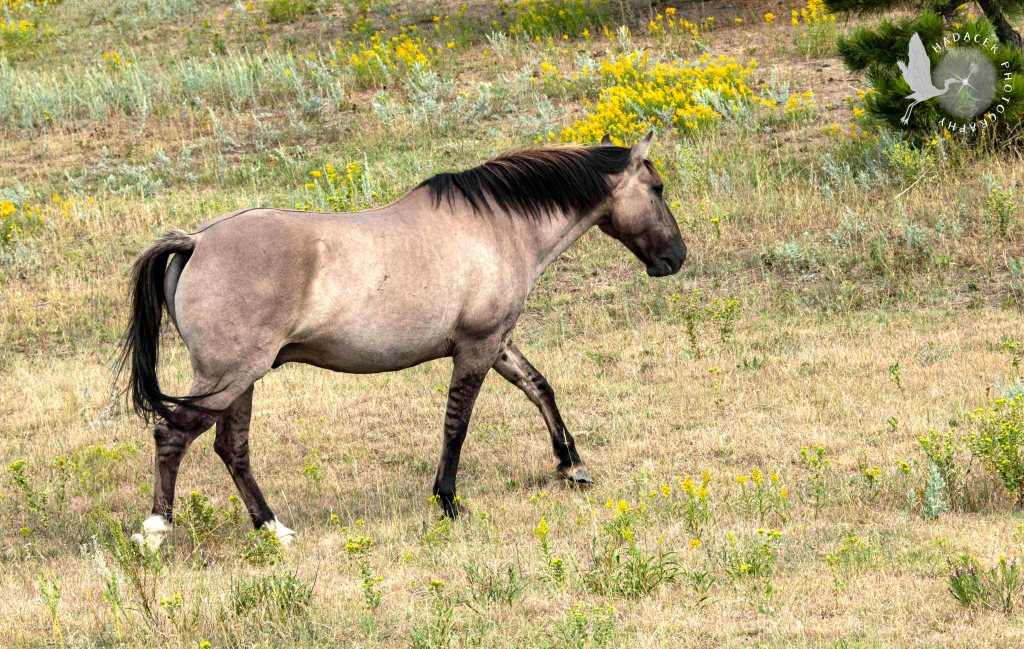 Black Hills Wild Horse Sanctuary, horse with striped legs