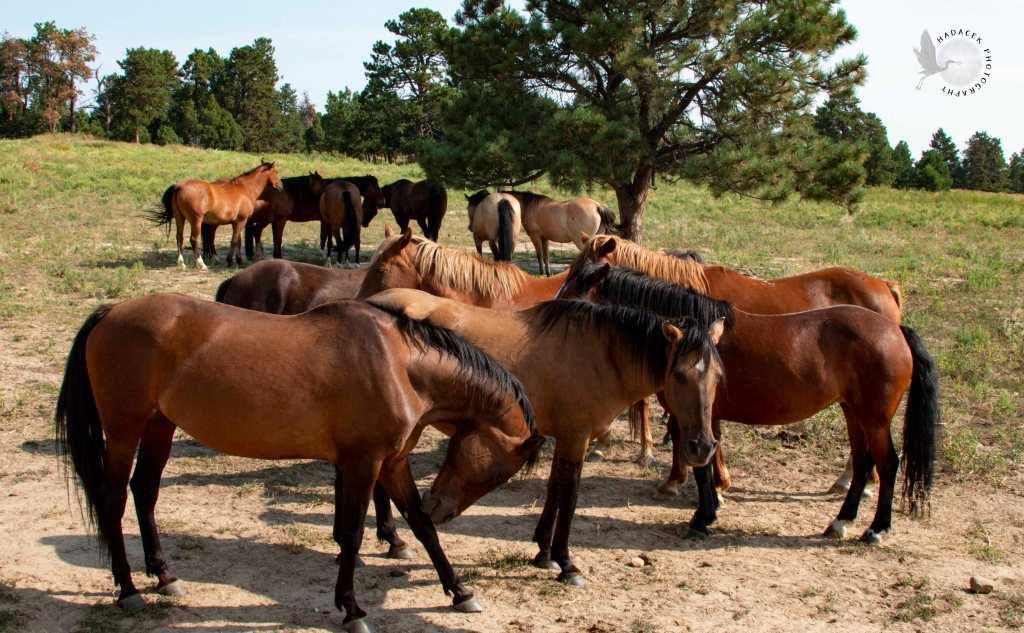 Black Hills Wild Horse Sanctuary, horse herd