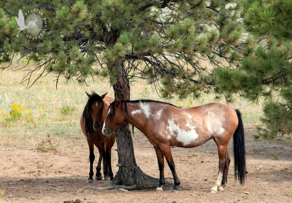 Two of the wild horses stand under a scrubby pine. A bay horse with a small white blaze faces the camera while its mare companion shows her full body, bay with white blotches on her side and a white blaze.