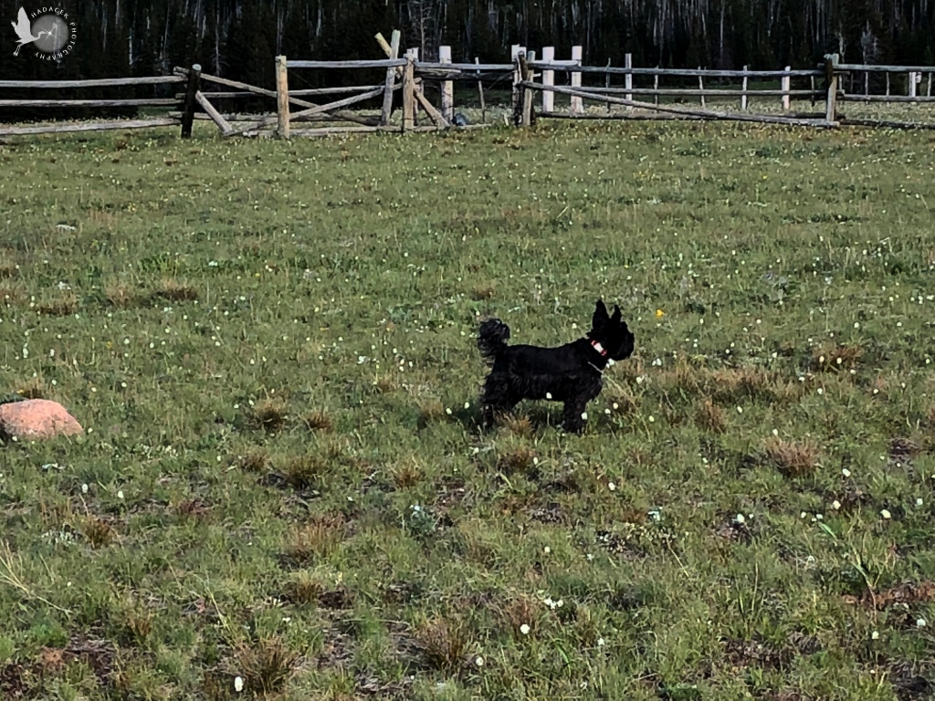 A small black dog looks out over a large field of prairie grass and wildflowers.