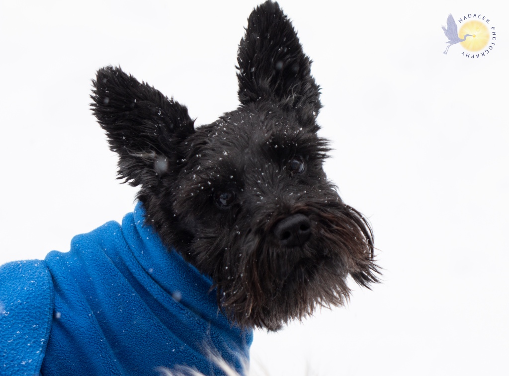 A small black dog with a black moustache and wearing a blue coat looks to the camera. There is snow on her coat and snow in the air. Her attitude is one of long-suffering.