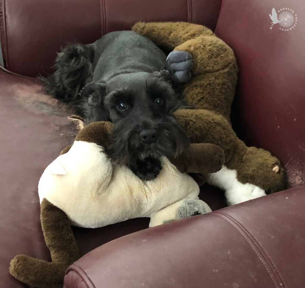 A small black dog lays on a couple of stuffed animals that are as big as she is!