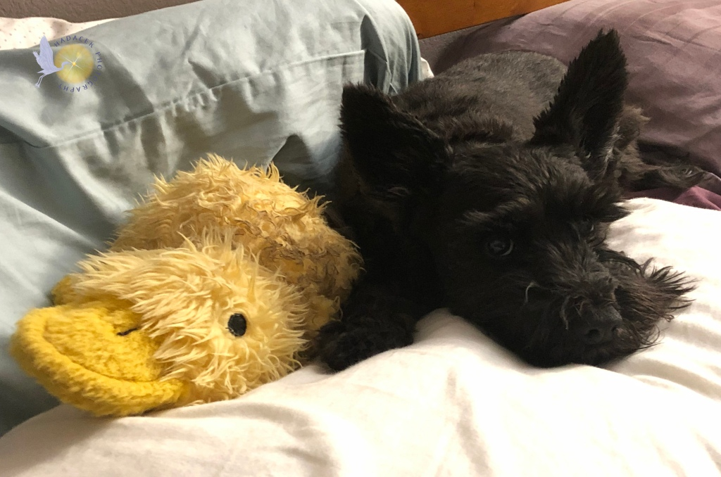 A small black dog lays on a bed pillow with a stuffed yellow duck doll beside her. She looks relaxed and peaceful.