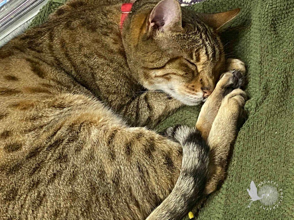 Sleeping Bengal Cat