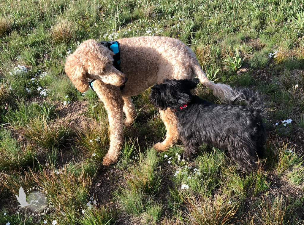 A standard poodle towers over a small black dog in an open field.