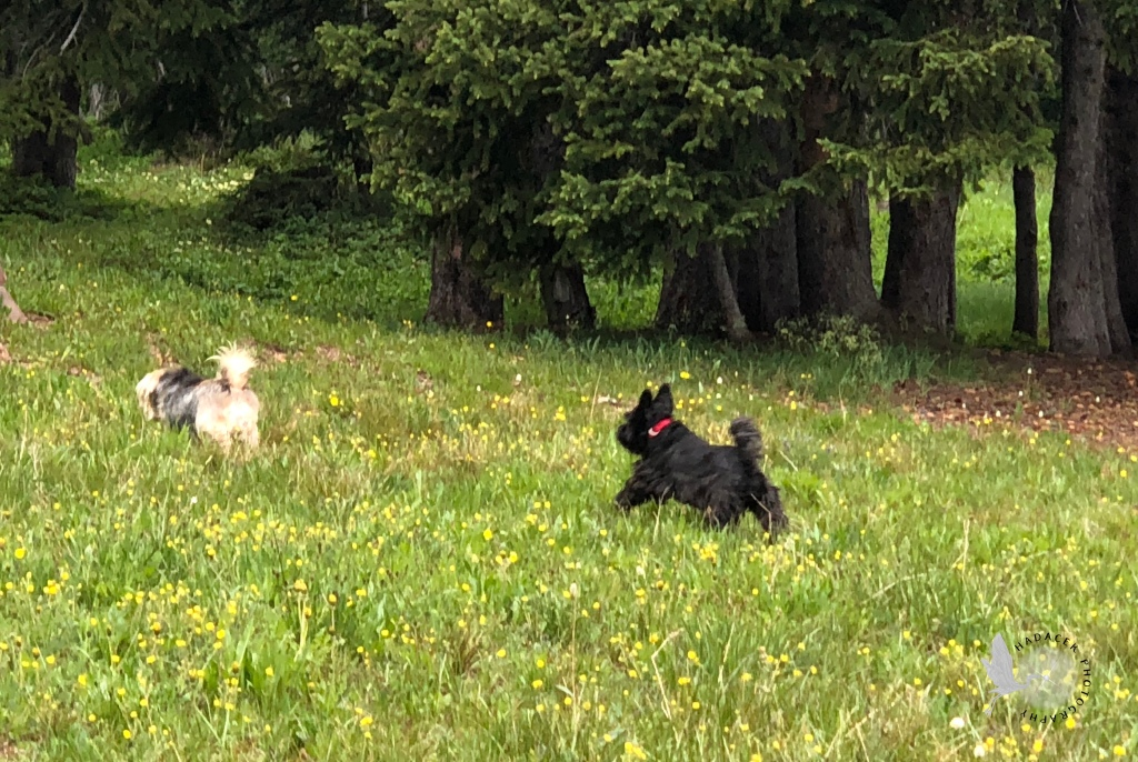 On the verge of the meadow, with nearby trees, two dogs are trotting. A black and tan dog leads the way; a small black dog follows her, head and tail up!