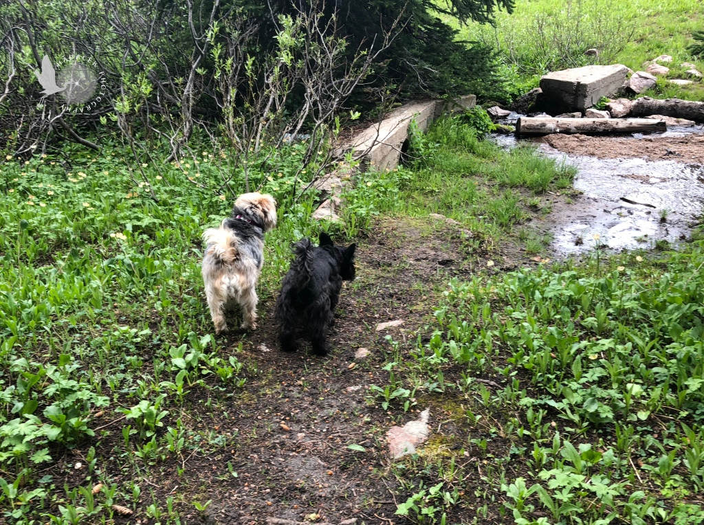 Two small dogs approach a tiny creek. One is looking curious; the small black dog looks a bit scared.