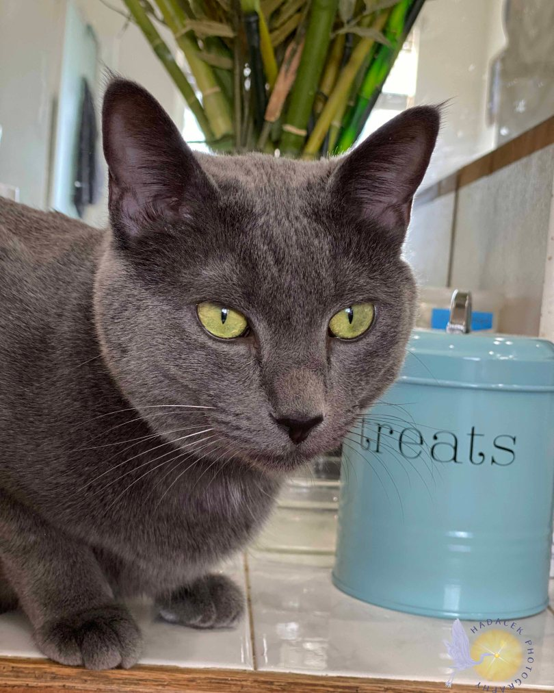 gray cat sitting by a  light blue treat cannister