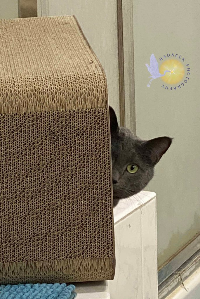 A bray cat peaks out of the whole in the box hideout. All you can see is the right side of her face as the left side remains inside to box. She is looking at me curiously.