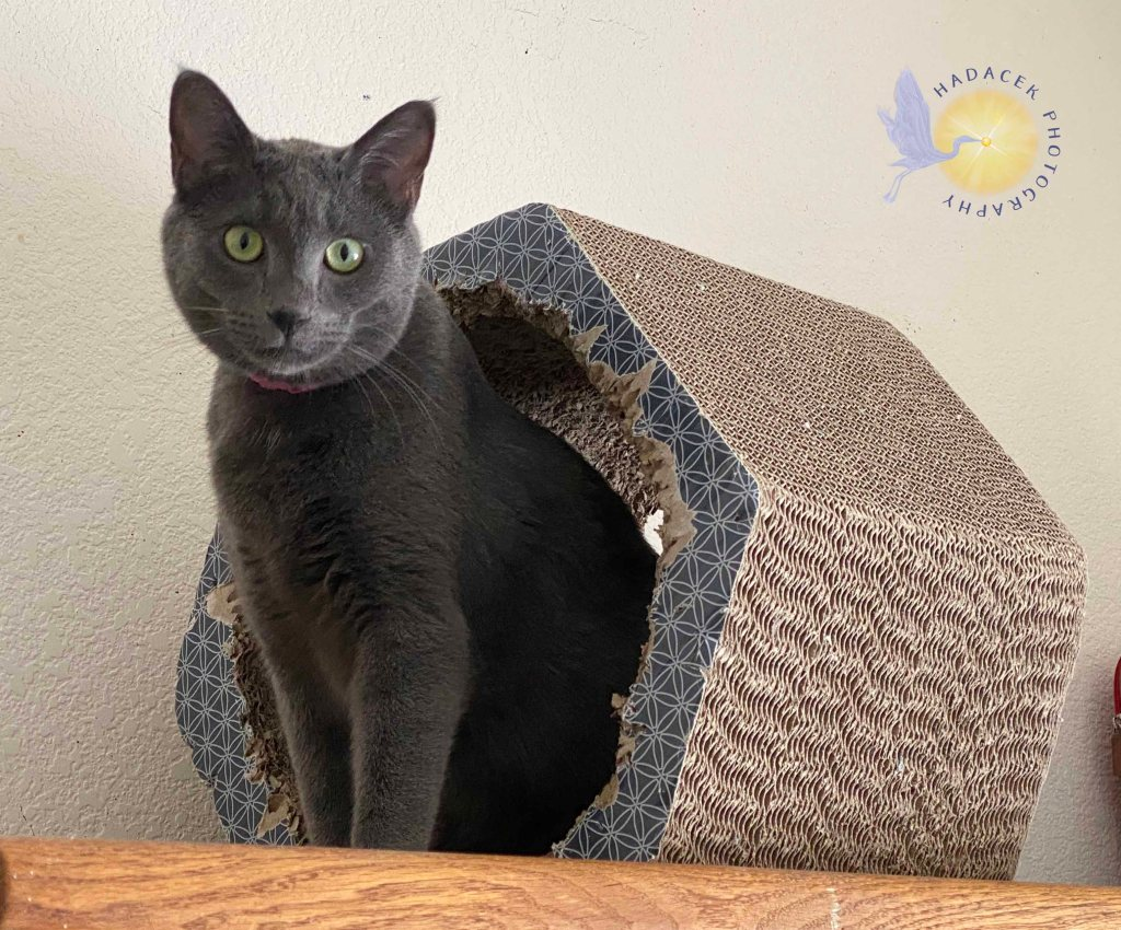 A gray cat is standing in a corrugated cardboard hexagon about 12 inches deep. She is sitting half in, half out, with her face and light green eyes looking to the camera.