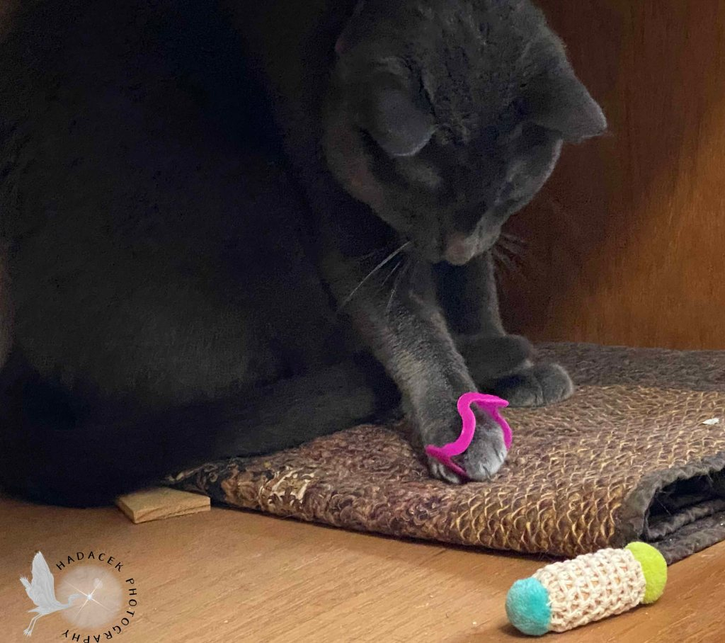 A gray cat plays with a bright pink squiggly plastic ring. Nearby is a cork toy.
