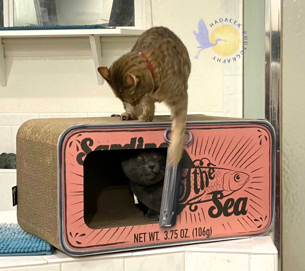 A gray cat sits in its box while a Bengal cat sits atop the box roof, reaching down with one  paw in an attack on the gray cat.