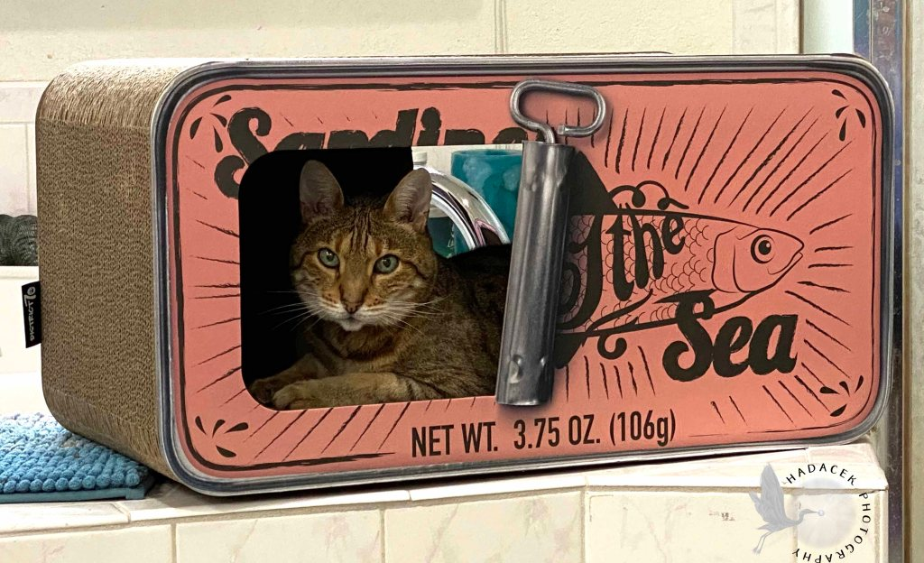 Bengal cat sits in the box hideout, looking at me like she owns the place (a time-share, really).