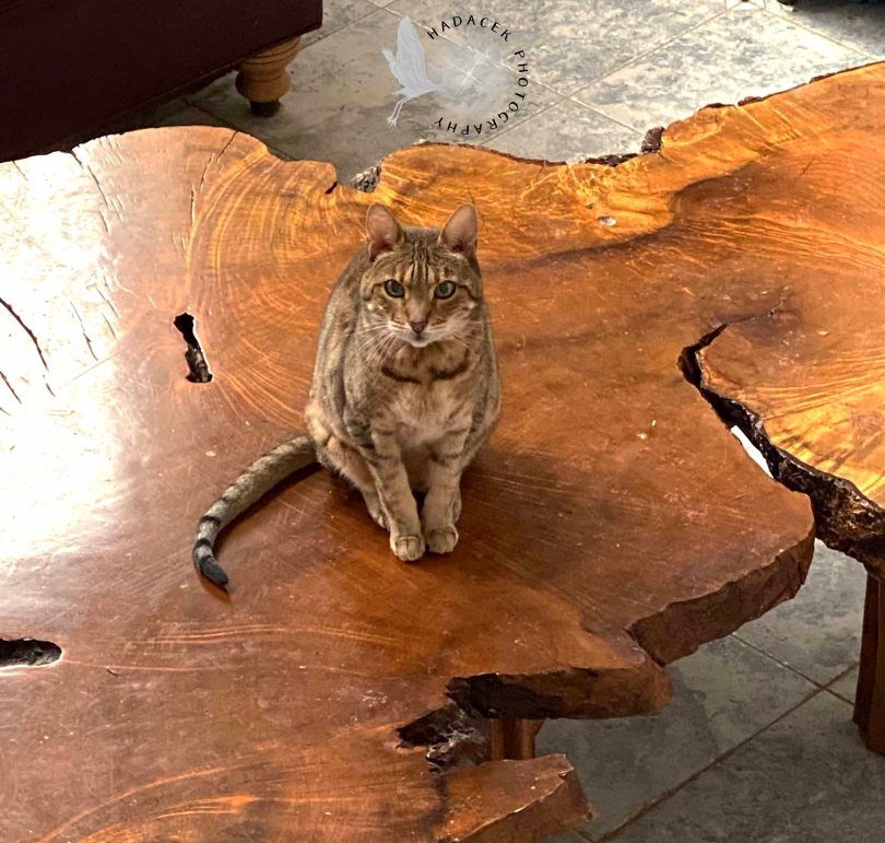 Bengal cat sitting on an irregularly-shaped wood table.