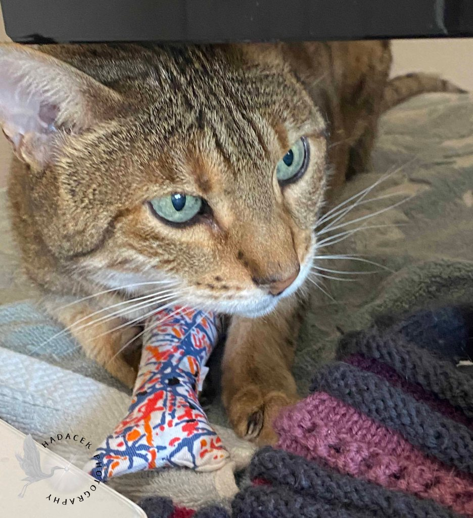 Bengal cat with bright green eyes holds a kicker toy under her body with an end sticking out between her front paws.